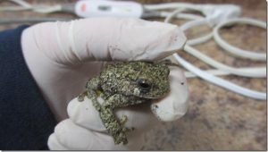 gray-tree-frog